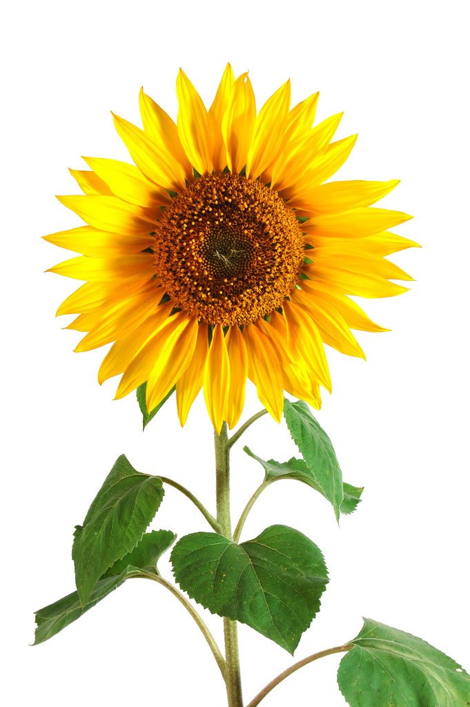 Sunflower (Helianthus Annuus) History, Benefits, Side Effects, Facts
